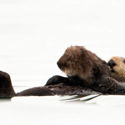 In this photo taken by the U.S. Geological Survey and provided by the California Department of Fish and Game, a sea otter holds her pup at Seacliff State Beach near Aptos, Calif., on, Sept. 10, 2012. The sea otter, known as Olive, has amazed researchers by becoming the first sea otter not only to survive a dunking in oil but then also go on to deliver a healthy pup.