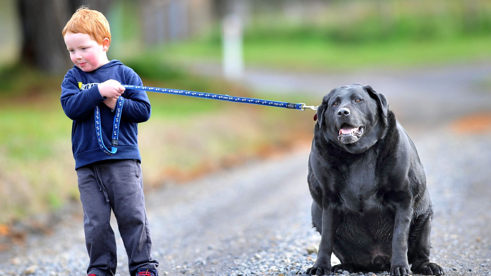 Even for dogs, Labrador retrievers are gluttons  This