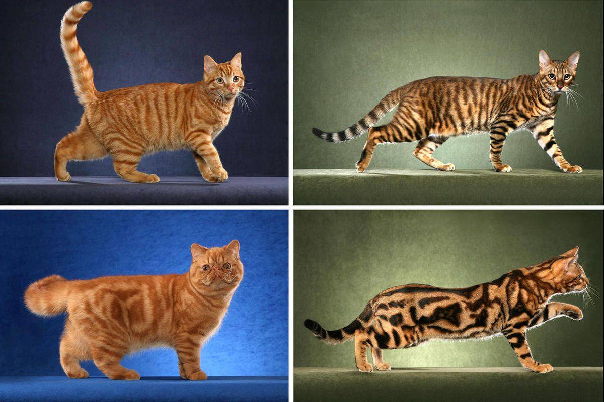 This undated photo made available by Science magazine shows tabby cats with the mackerel pattern, top row, and blotched pattern, bottom row. Scientists say they've found the gene that sets the common tabby pattern - stripes or blotches. Cats with narrow s