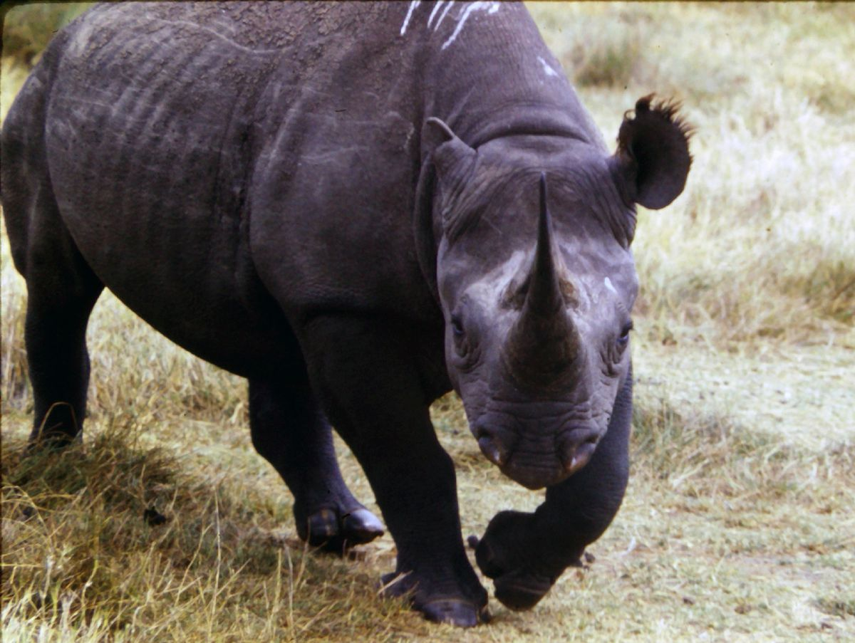Marvin Weinstein snapped this picture of a rhinoceros on a trip to Zimbabwe in 1987.