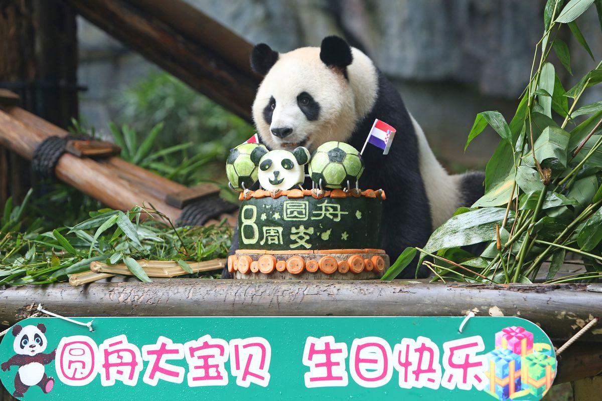 Giant Panda Yuan Zhou Celebrates Eighth Birthday In Shenzhen