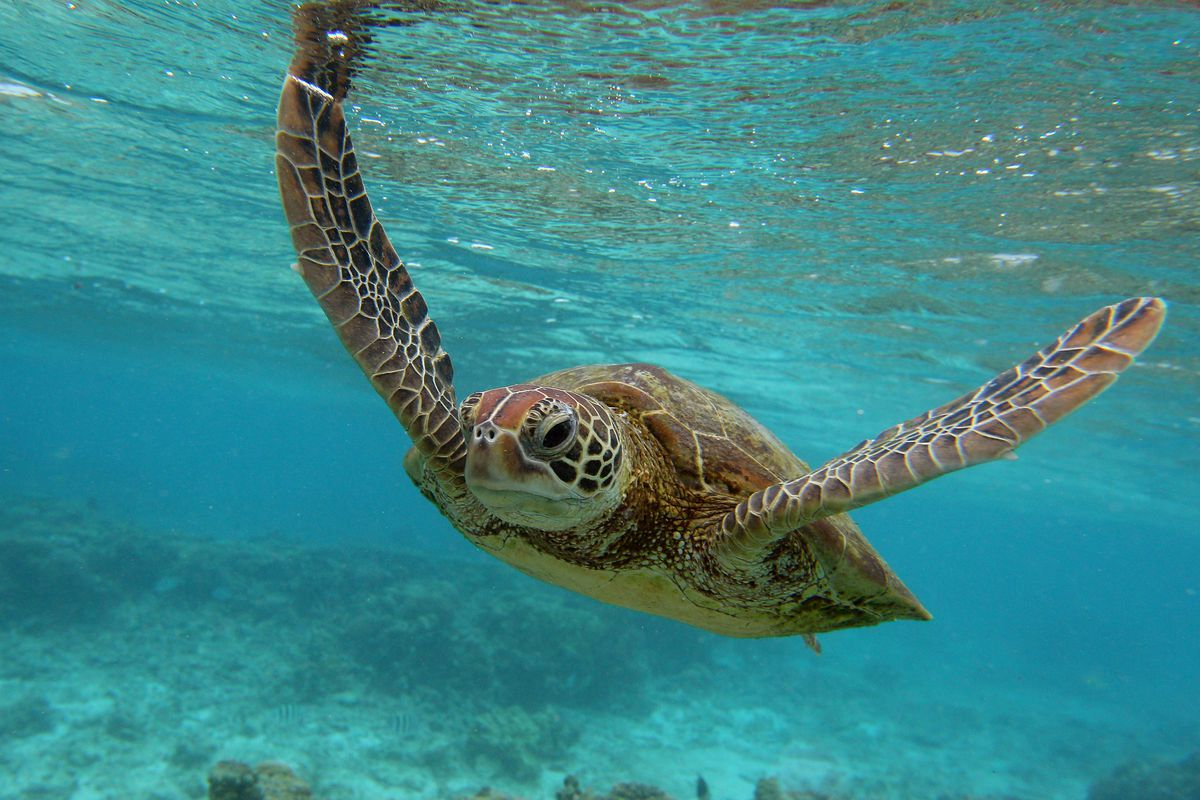 """The hawksbill sea turtle is listed as """"critically endangered"""" by the IUCN, threatened with extinction by human fishing practices."""