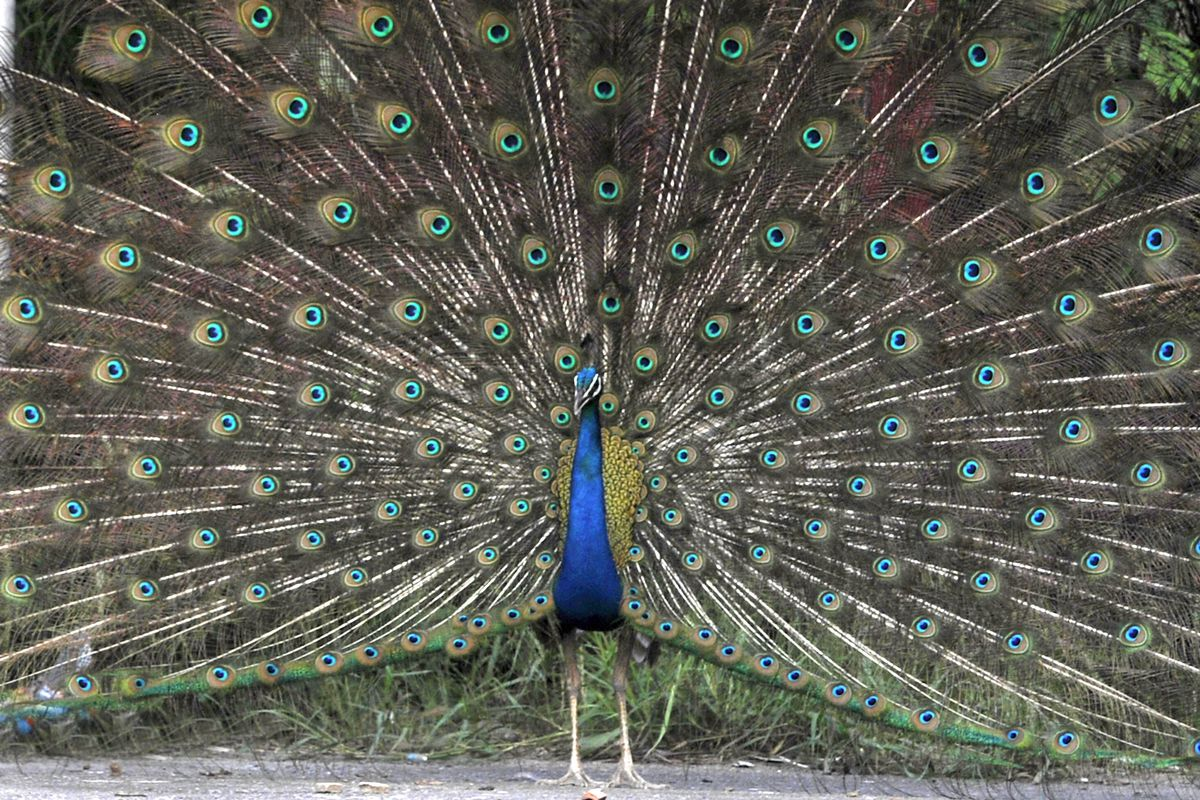 Peacock Enjoys In A Pleasant Weather In Noida