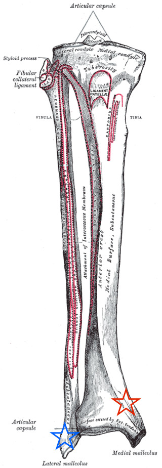 Ankle Anatomy 1