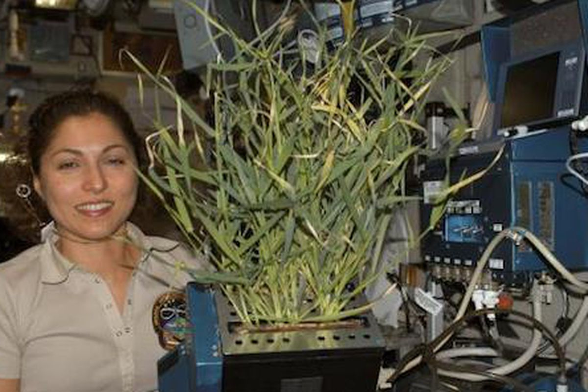 Barley in Space, 2006 Space tourist Anousheh Ansari holds barley growing in a Lada root module.<br>