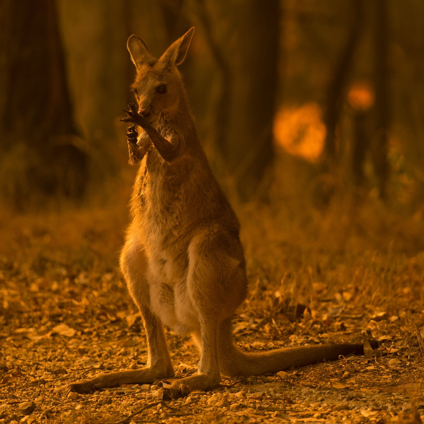 Australia fires: Why species might go extinct, explained by an ecologist -  Vox