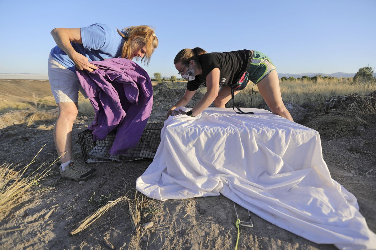 Andrea MacDonald and Rachel Gitlin transfer a trapped cat into a different cage, and then try and use the cat to draw her kittens close in order to trap them too, in West Jordan on Monday, July 13, 2020. After being trapped, the cats are spayed or neutered and then released back to the locations where they were caught.