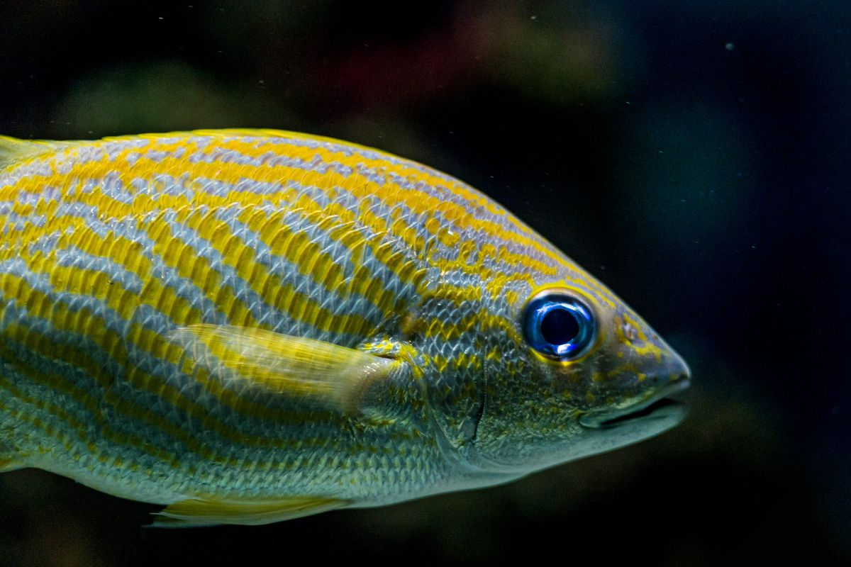 In the wild, groups of French grunt (Haemulon flavolineatum) fish have culturally transmitted migration routes.