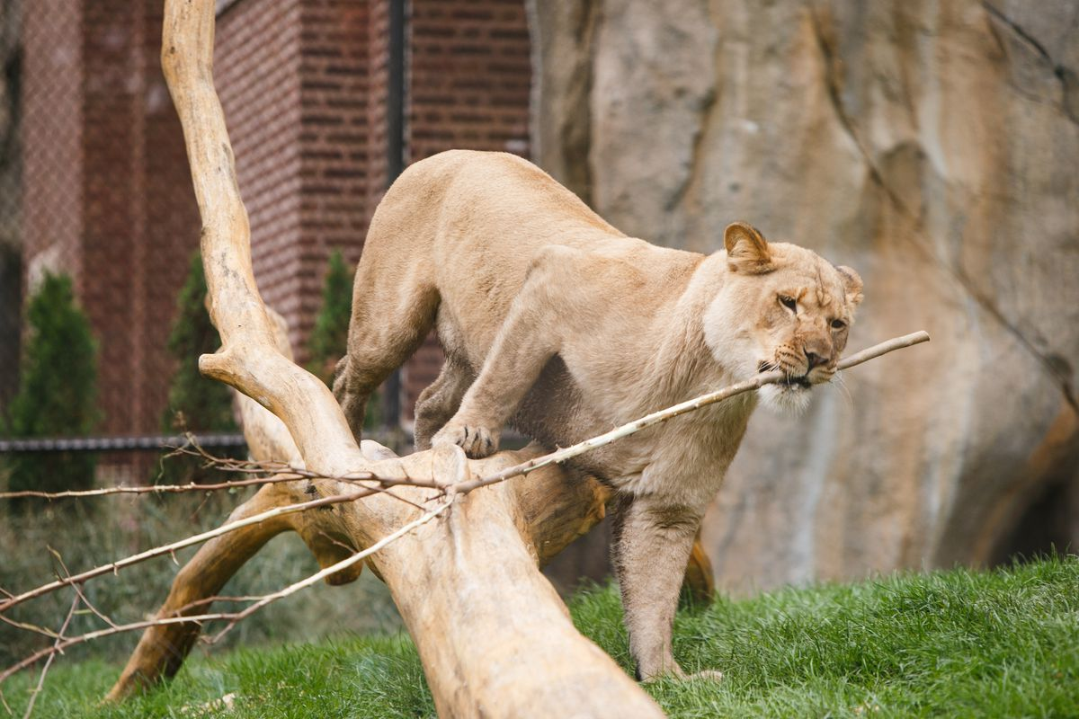 A female lion inside the Pepper Family Wildlife Center at Lincoln Park Zoo, Thursday morning, Oct. 14, 2021. Mark Capapas/Sun-Times.
