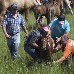 John Wayne, a volunteer wrangler, center, gets help capturing Queen Neptune, the first foal to make it to shore followingthe 94-year-old swim tradition of Pony Penning, onChincoteague Island, Va.,on Wednesday, July 24, 2019.The foal is dubbed King or Queen Neptune depending on its gender. The foal is caught immediately so it can be marked and raffled off for free to whoever bought the winning chance. This year, theChincoteague Volunteer Fire Companysold $7,500 worth of chances, at a dollar a piece.