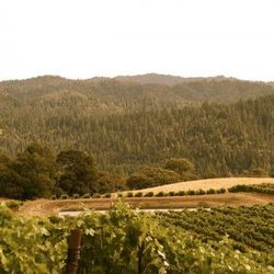 Mendocino's Hawkes Butte Vineyard, one of Copain's great Syrah sites.
