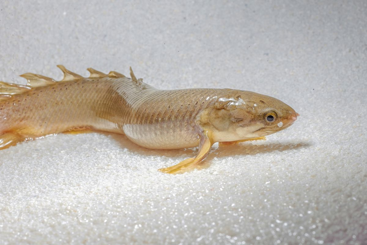 Scientists raised these fish to walk on land the verge for Land big fish