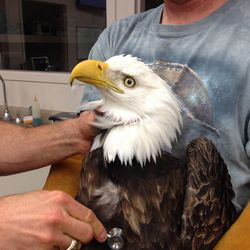 This undated image provided by the Wildlife Rehabilitation Center of Northern Utah shows one of five bald eagles that was brought into the center, but eventually died. They each had similar symptoms: body tremors and paralysis.