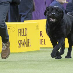 Memo, a Labrador retriever, competes in the sporting group during the 142nd Westminster Kennel Club Dog Show, at Madison Square Garden in New York last month. American Kennel Club rankings released in 2018 show Labs remain the country's most popular purebred dog for a 27th year. | Associated Press