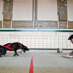 In this photo taken Nov. 13, 2011, Alex Ferraro encourages his dog, Gina Gotti, during the dog pull event hosted by the Prairieland Pullers Club at the old Abingdon Middle School in Abingdon, Ill.  Gina pulled 52 times her body weight or a total of 2460 pounds.