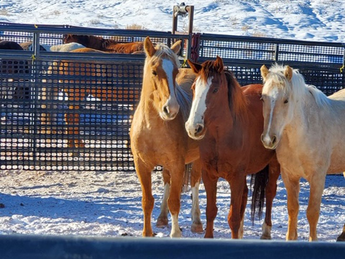 Nearly 300 stray horses gathered in Uintah County