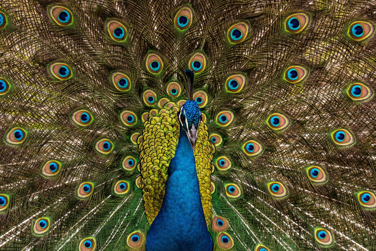 A male peacock (Pavo cristatus) showing its colorful...