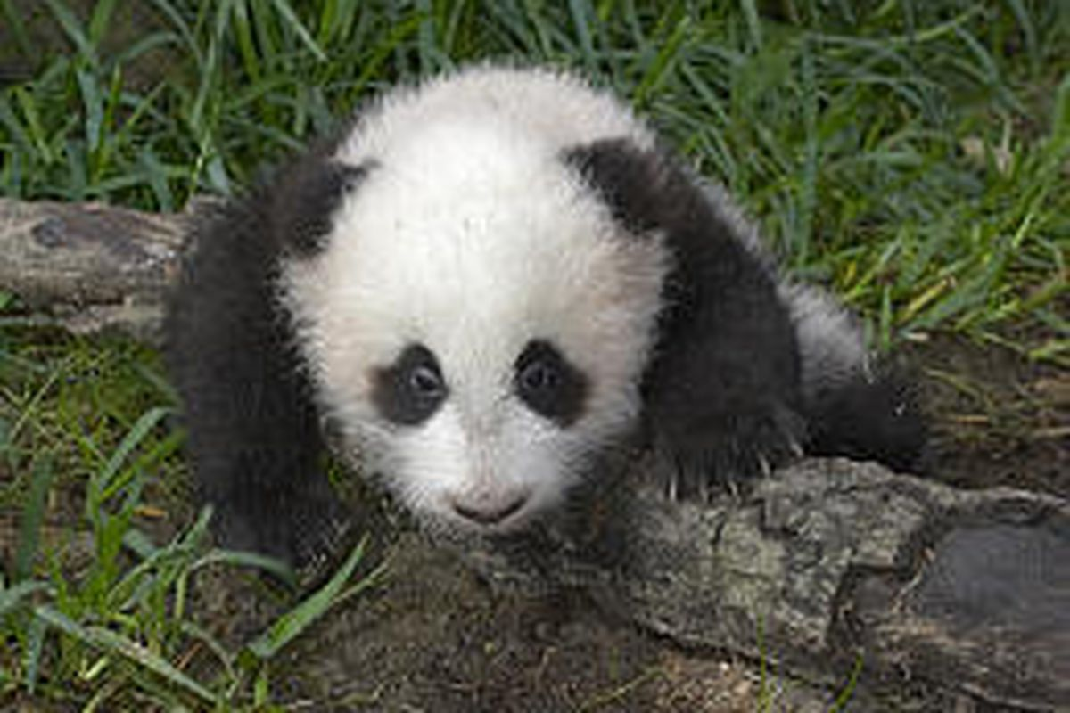 Su Lin, seen Thursday, shares her name with the first giant panda cub brought to the United States in 1936.