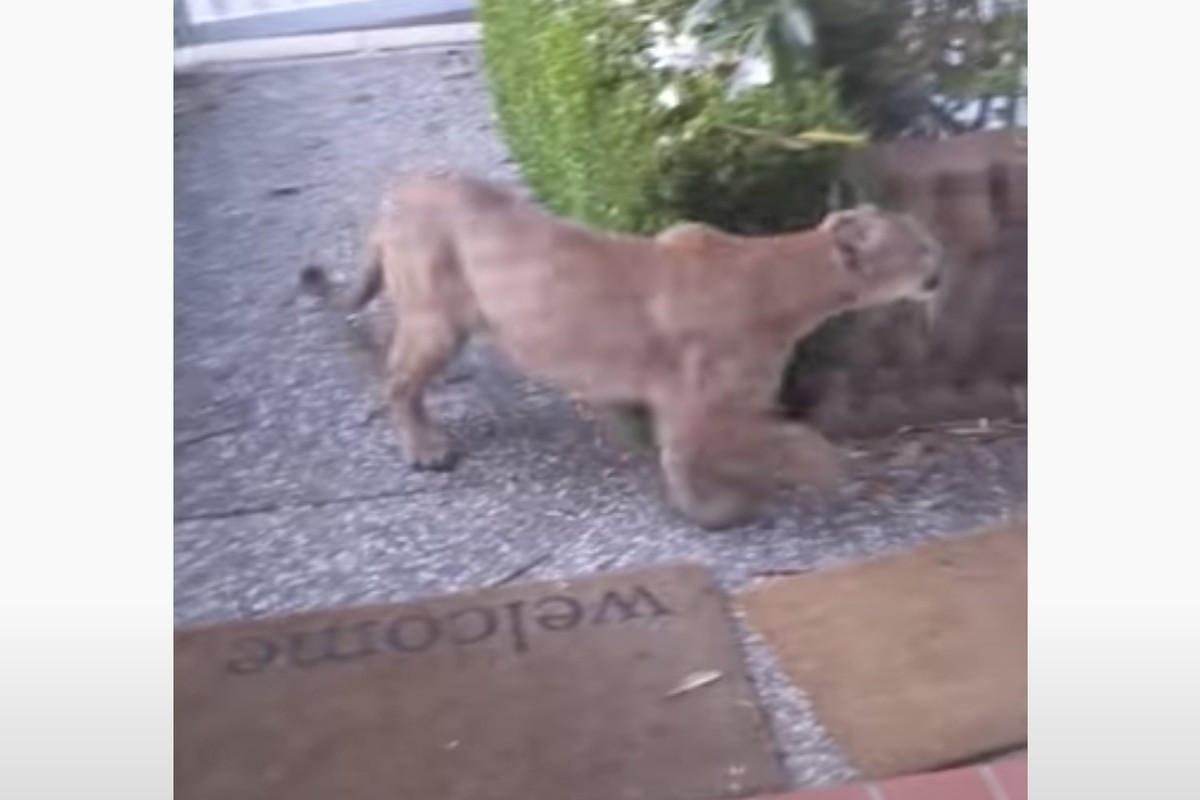 Timothy Kerrisk captured footage of the mountain lion, which he thought was a dog at first. He saw that the animal was watching children from across the street, KRON reports.