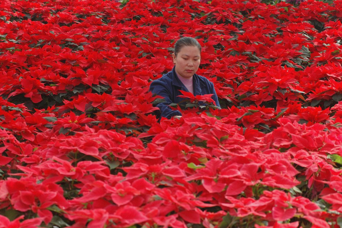 Workers Work At Modern Flower Farm In Xining