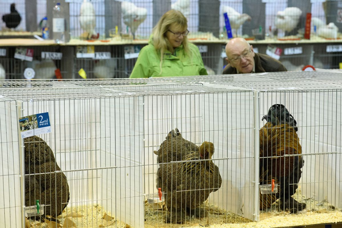 Chickens On Display At The 2016 Poultry Show
