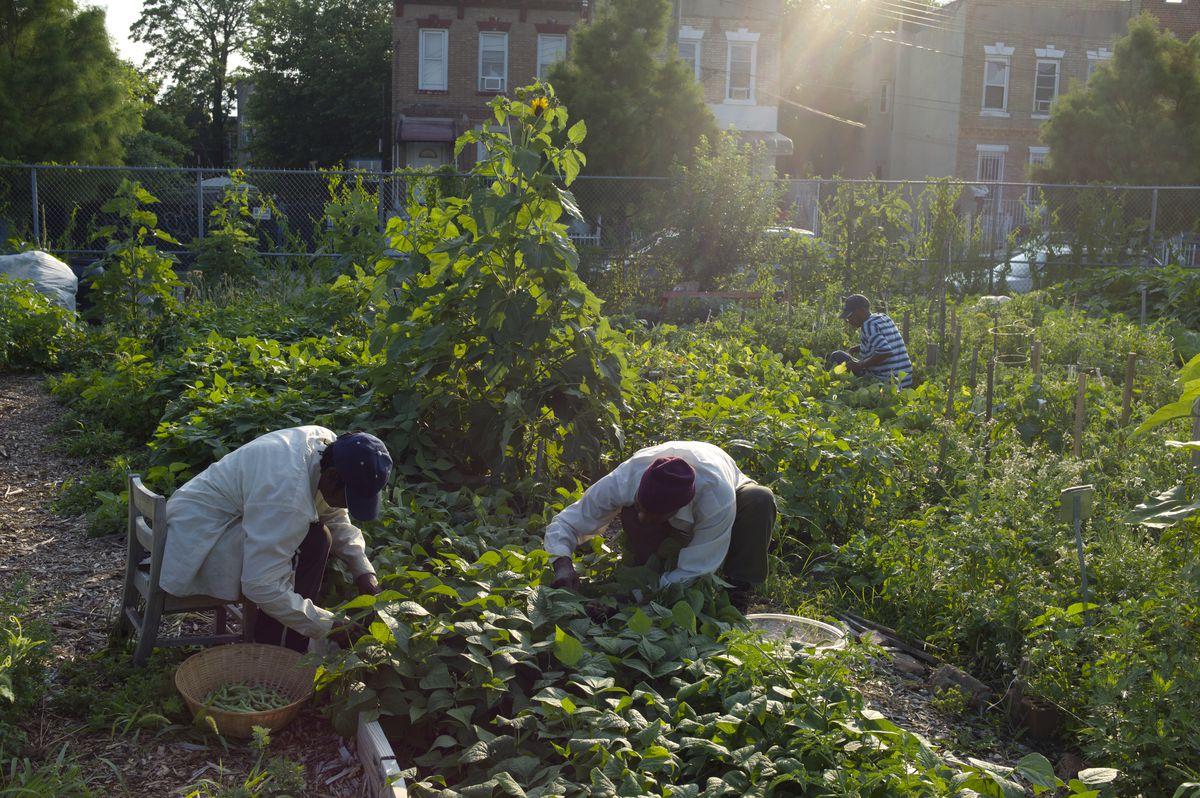 A husband and wife pick string beans from a lush garden in East New York.