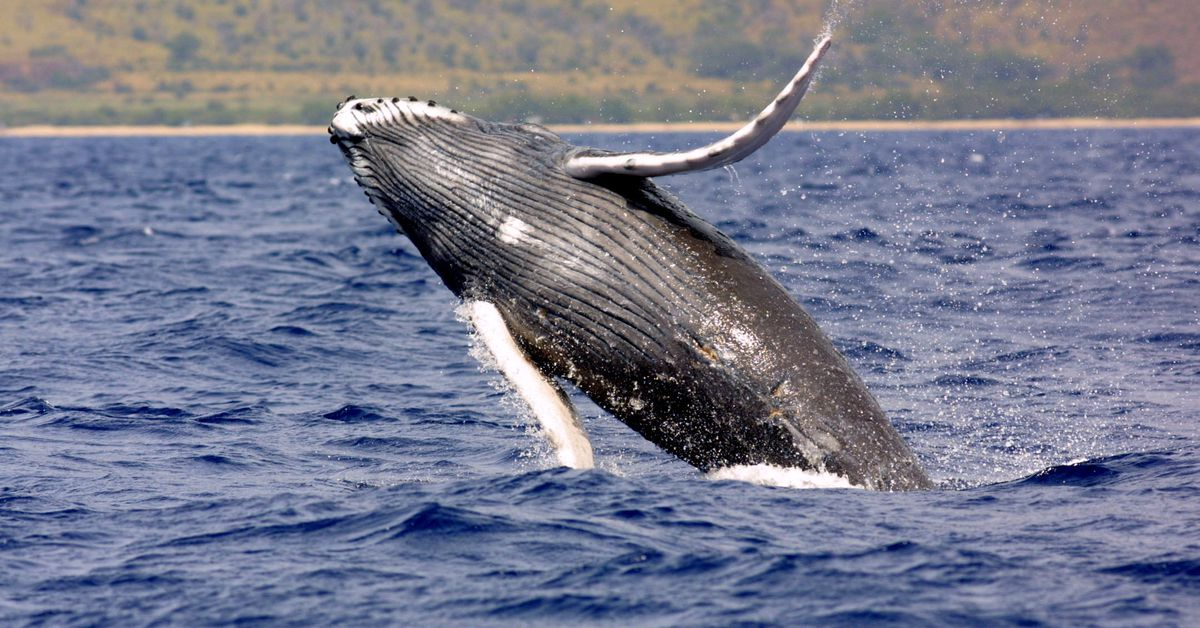 a study of the humpback whale