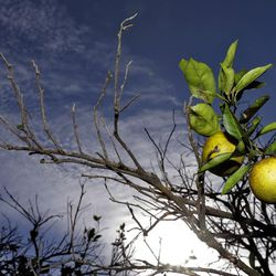 Oranges ripen in a grove in Wednesday, Dec. 11, 2013, in Plant City, Fla. The citrus contributes $1.5 billion to the Florida economy. Growers are worried about citrus greening, a condition where an insect causes bacteria to grow on the leaf and fruit, eventually killing the tree.