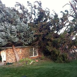Strong winds downed a large tree in Centerville Thursday, Dec. 1, 2011 in Salt Lake City.