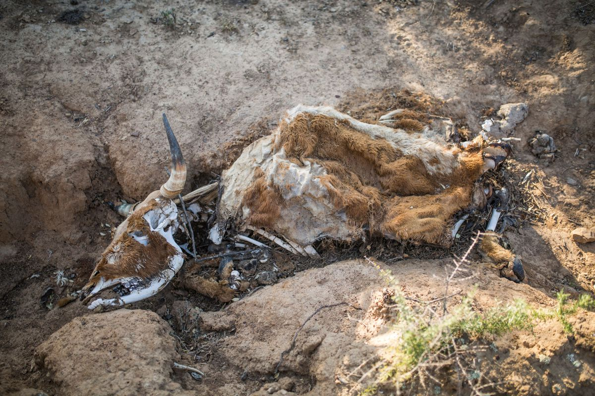 A carcass of a cow that died from starvation caused by the drought near the Adelaide Dam in Adelaide on November 27, 2019.