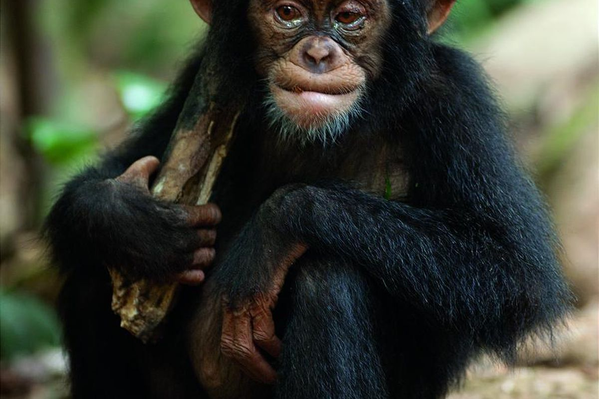 """""""Chimpanzee' is a warm-and-fuzzy movie situated somewhere between """"The Jungle Book"""" and Animal Planet."""