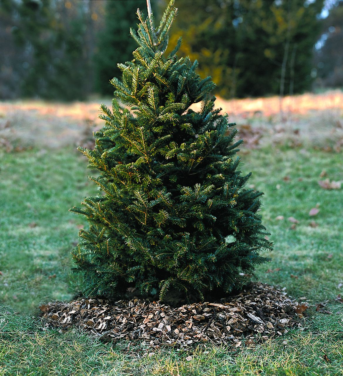 A live christmas tree planted in the backyard.