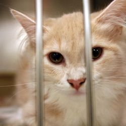 A cat waits to be adopted or found at the West Valley City Animal Shelter in West Valley City on Saturday, Sept. 1, 2012.