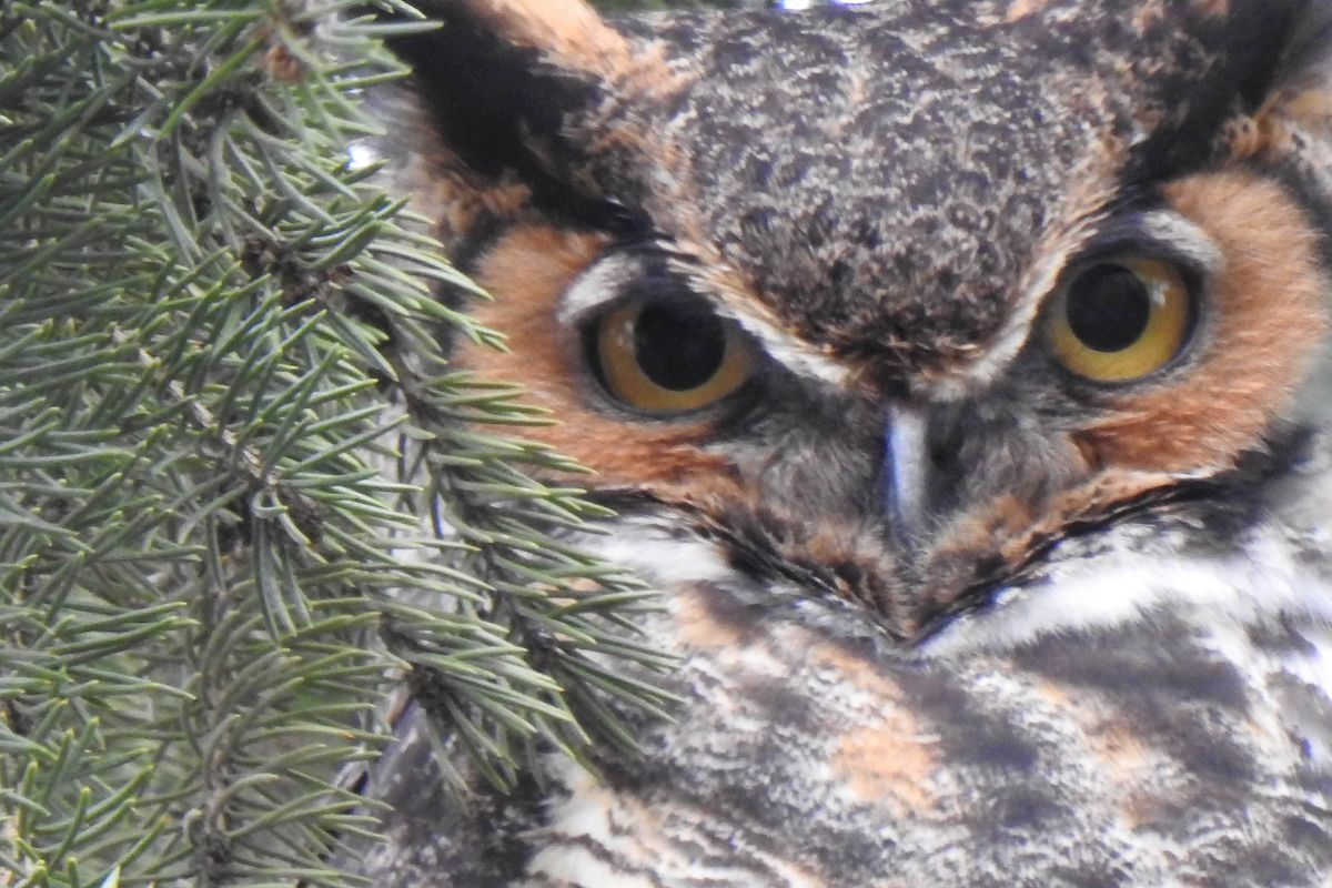 A great horned owl spotted in the Lisle area during the stay-at-home.