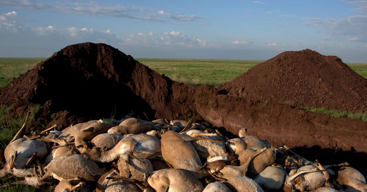 Here's why 60 percent of the world's saiga antelopes were wiped out in 2015