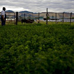 With a view of the Bingham Copper Mine, Clyde Butterfield, whose family settled Herriman as pioneers stands in one of his alfalfa fields  on Friday, July 6, 2011.