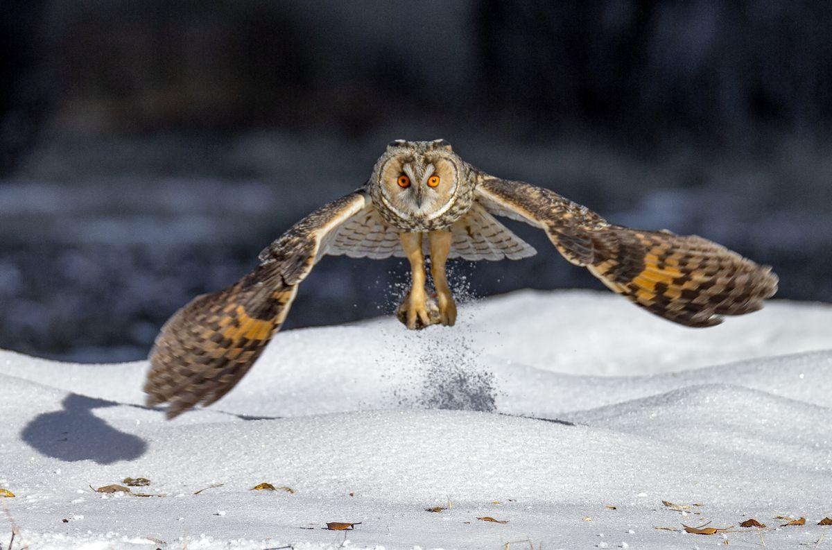 Long-eared Owl In Daqing