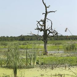 In this photo Wednesday, July 9, 2014, a dead oak tree stands amid a man made wetland project near Fairfield, Texas. As slow-moving, turbid water snakes through the man-made wetland, phosphorous and nitrates are slowly filtered out through shallow ponds full of lush vegetation and water birds until, a week later, the water runs clear as a creek  directly into a North Texas drinking supply.