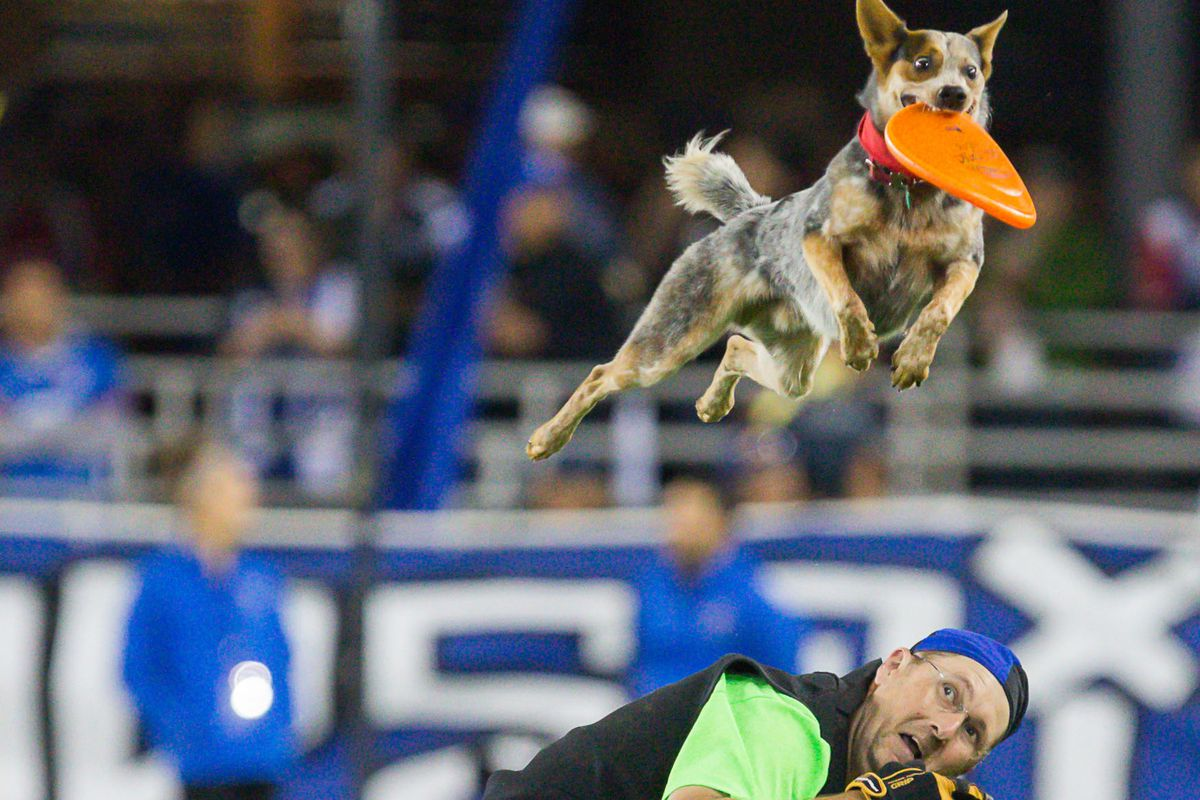 Yes, a halftime show at Avaya Stadium has included Disc Dogs. I want a Disc Dog.