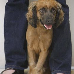 April, 3-year-old cocker spaniel mix, attends the press conference on the anti-tethering ordinance at the Humane Society.