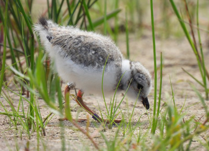 A piping plover chick walks through the grasses of Montrose Beach.
