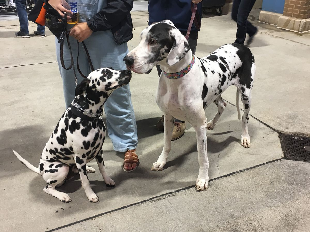 Ringo Star, a Dalmatian, met up with his twin from another mother, Cali, a Great Dane.   Madeline Kenney/Sun-Times