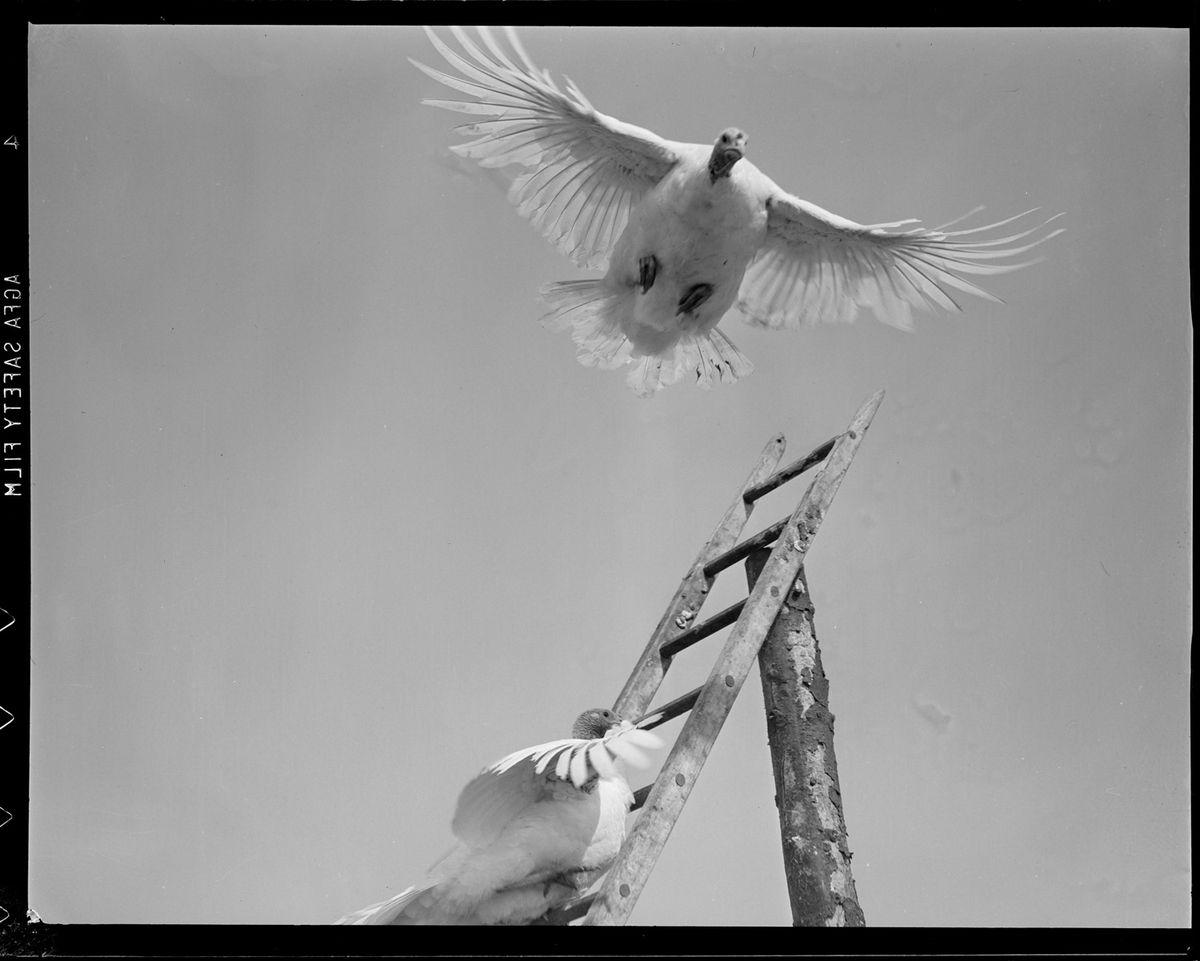 A turkey on a 1930s-era farm takes flight.