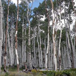 About 75 percent of the canopy trees are dead in some parts of the Pando clone, scientists say.