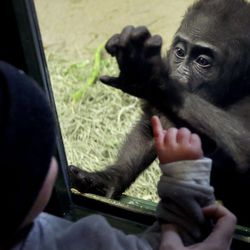 Jake Ernstsen, 2, of Salt Lake City, watches Georgia, a western lowland baby gorilla, at Utah's Hogle Zoo in Salt Lake City on Wednesday, March 31, 2021. According to zoo officials, the primates missed the interaction with guests during the zoo's 50 days of closure that occurred at the onset of the coronavirus pandemic.