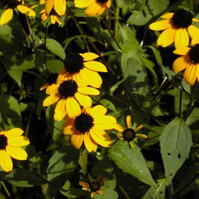 Brown-Eyed Susan (Rudbeckia)