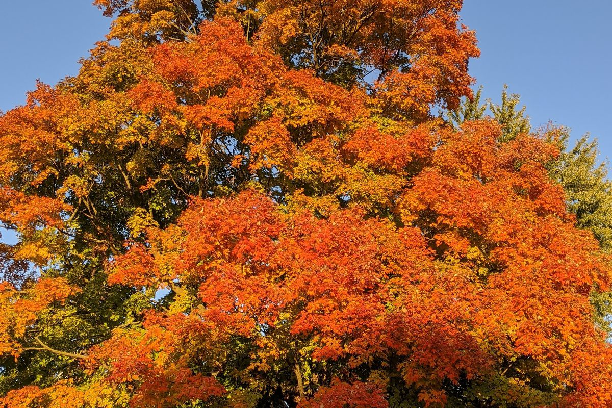 A maple, observed over the last two decades, as photographed on Thursday. Credit: Dale Bowman