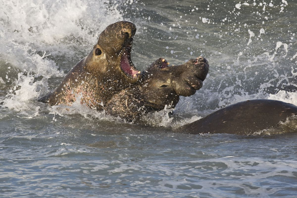 Elephant seals fight over territory and mates