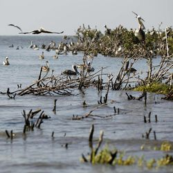 Dead mangrove is seen on the water near the heavily eroded shoreline of Cat Island in Barataria Bay in Plaquemines Parish, La., Wednesday, April 11, 2012.