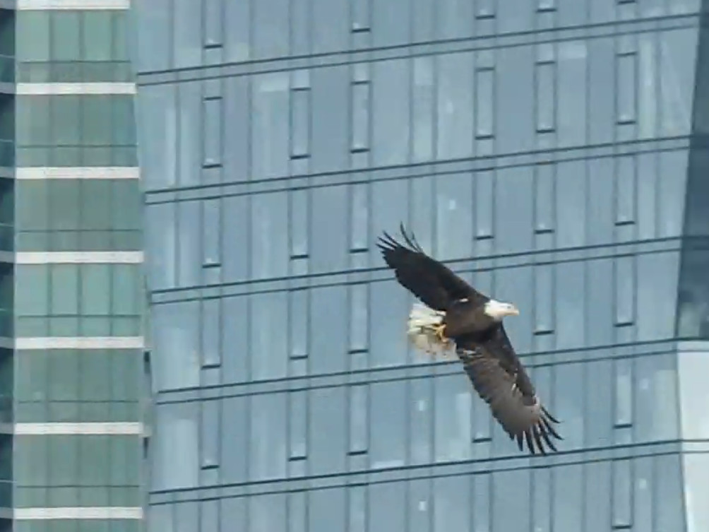 An eagle was seen in the South Loop.   Provided/David Lukauskas